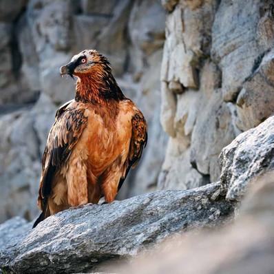 bearded-vulture.jpg