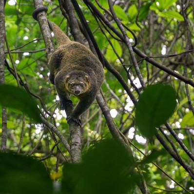 cuscus-tangkoko.jpg