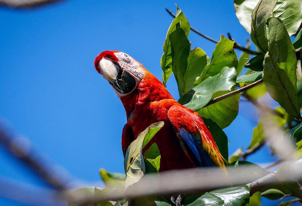 svetlordeča ara na drevesu v kostariki