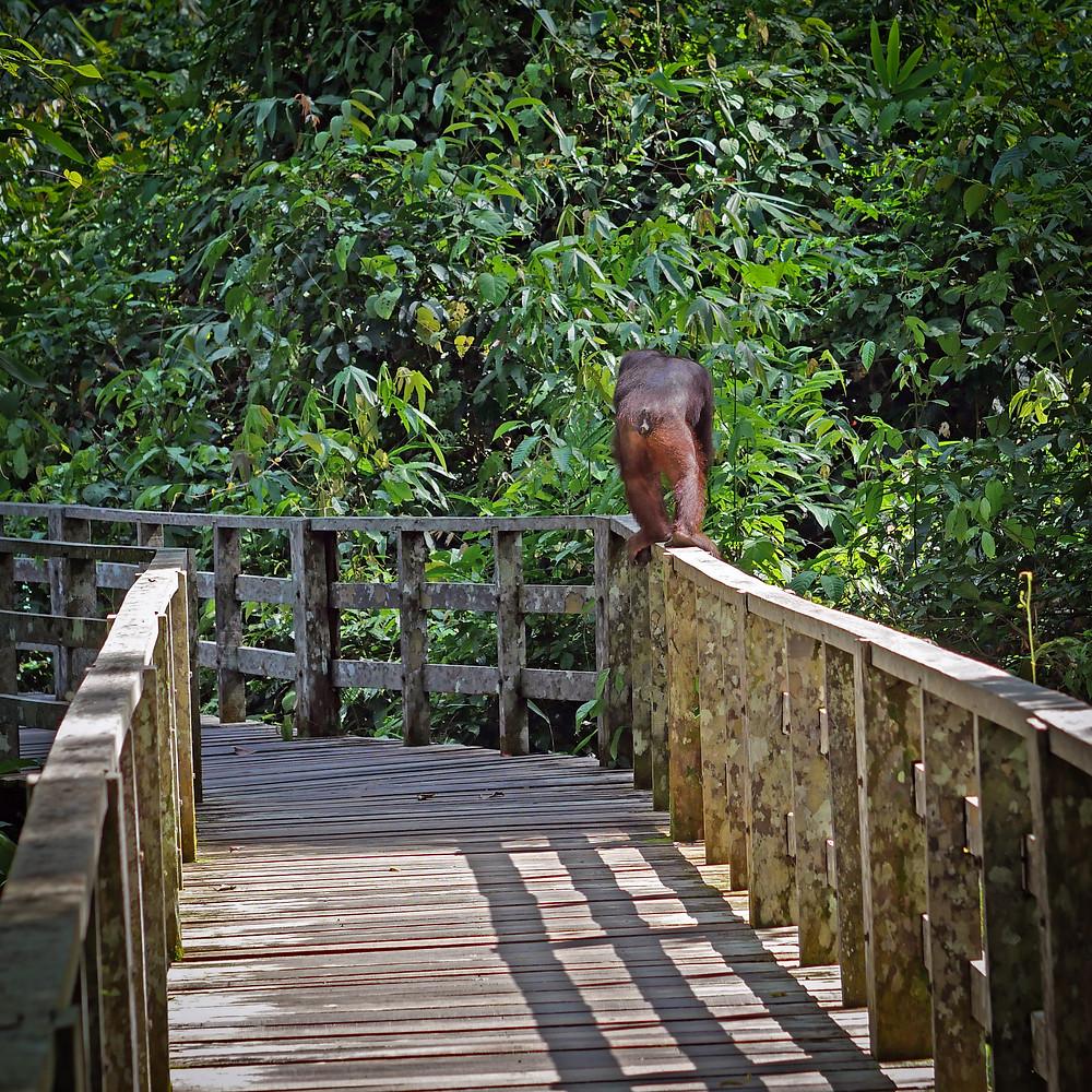 Primat na ograji z džunglo v ozadju