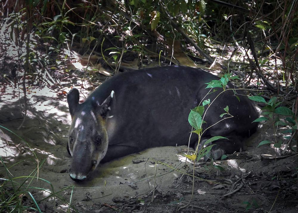 Velik tapir leži na pesku