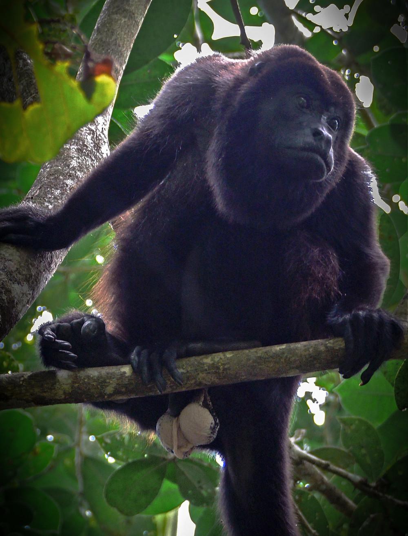 črna opica na veji z zelenim listjem v ozadju