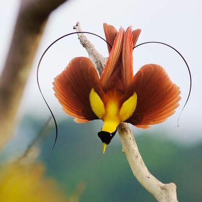 red-bird-of-paradise.jpeg