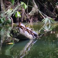 Tri rečne želvice