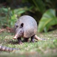 Armadillo Monteverde
