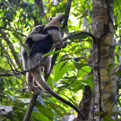 tamandua-anteater.jpg