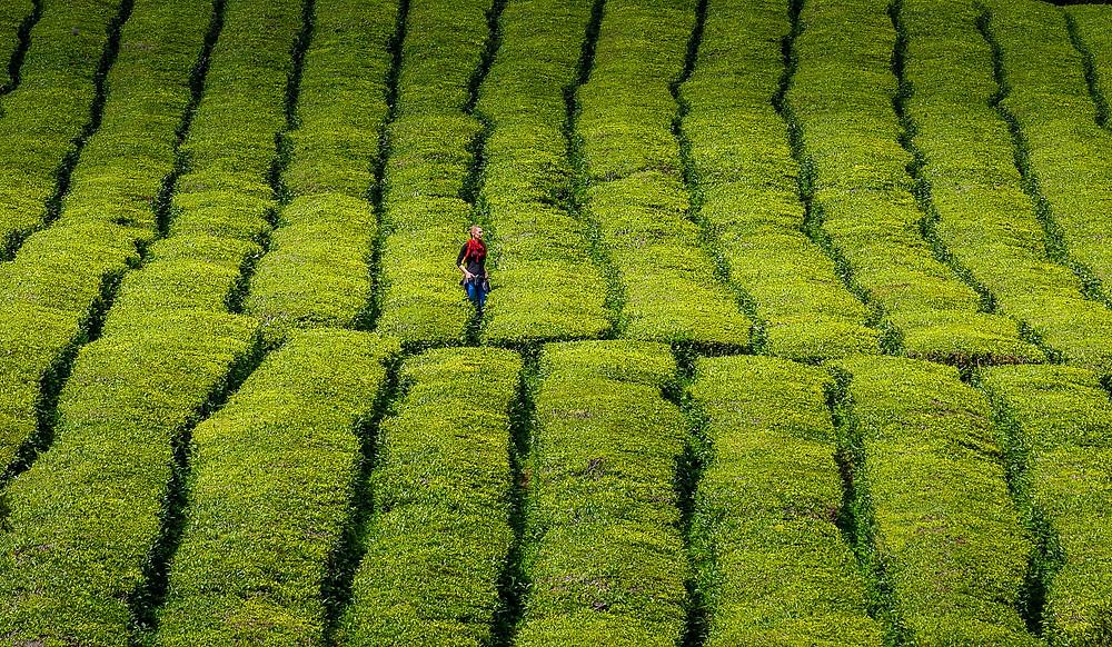 Dekle z rdečim šalom sredi zelene plantaže čaja na Azorih