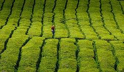 zelena čajna polja na azorih