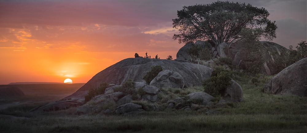 Lev na veliki skali s sončnim zahodom v ozadju