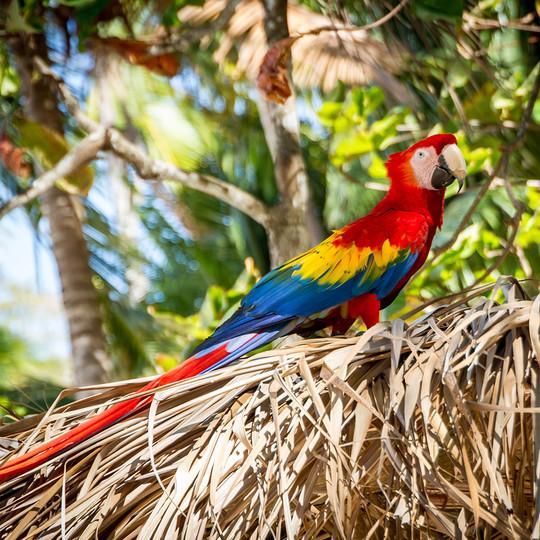 kostarika-ara-scarlet-macaw.jpg