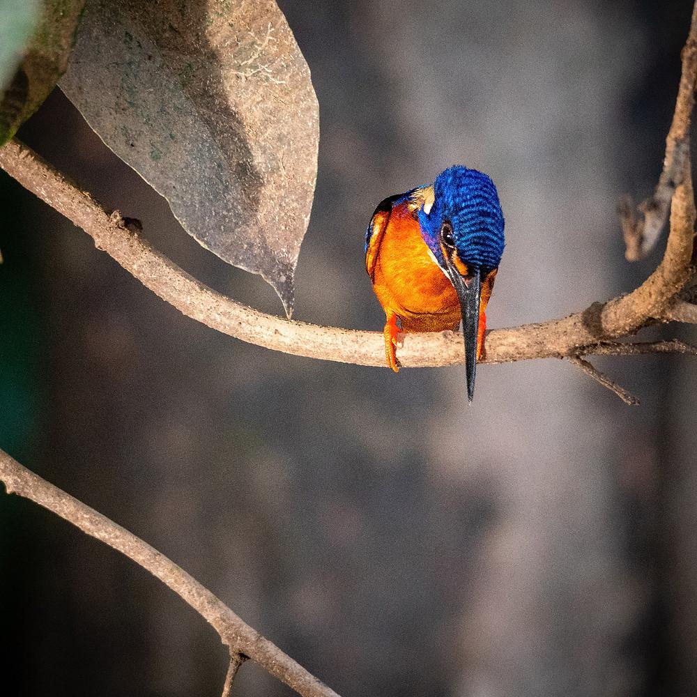 Oranžna ptica z modro glavo na rjavi veji