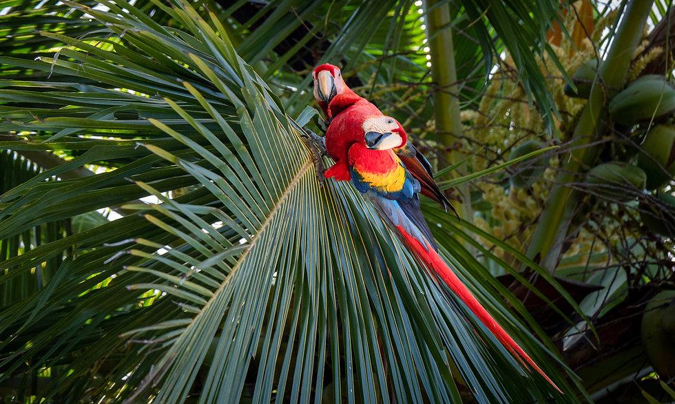 svetlordeči ari na palminih listih v kostariki
