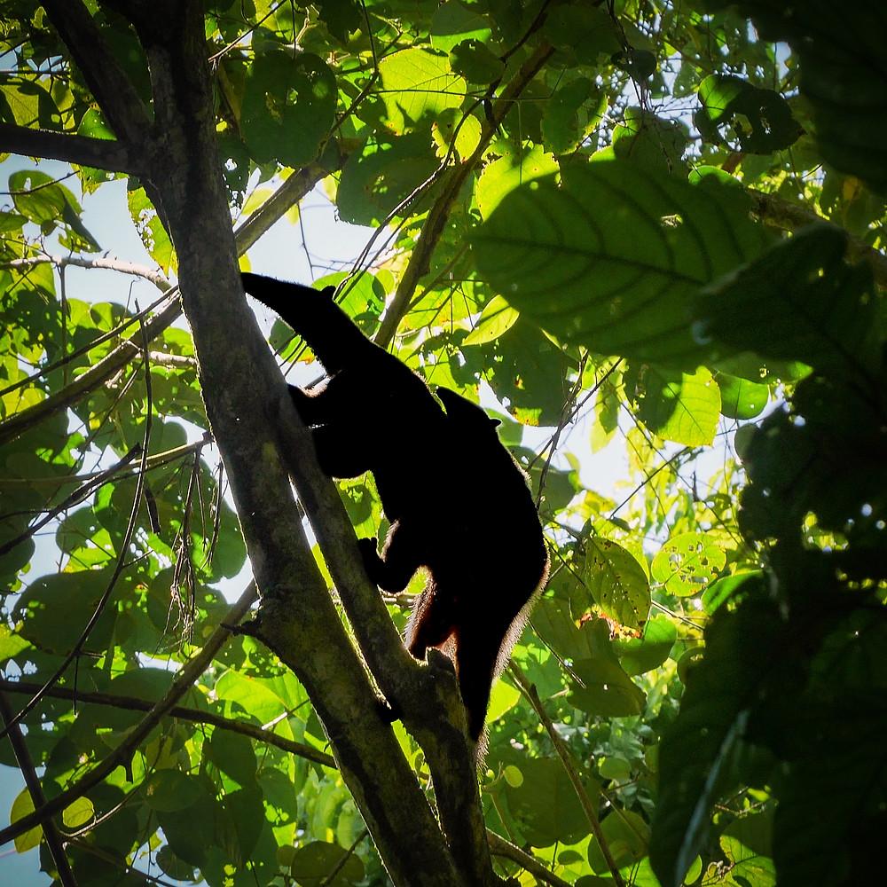 mravljinčarka z mladičem na hrbtu v krošnji drevesa