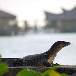 monitor-lizard-borneo.jpg