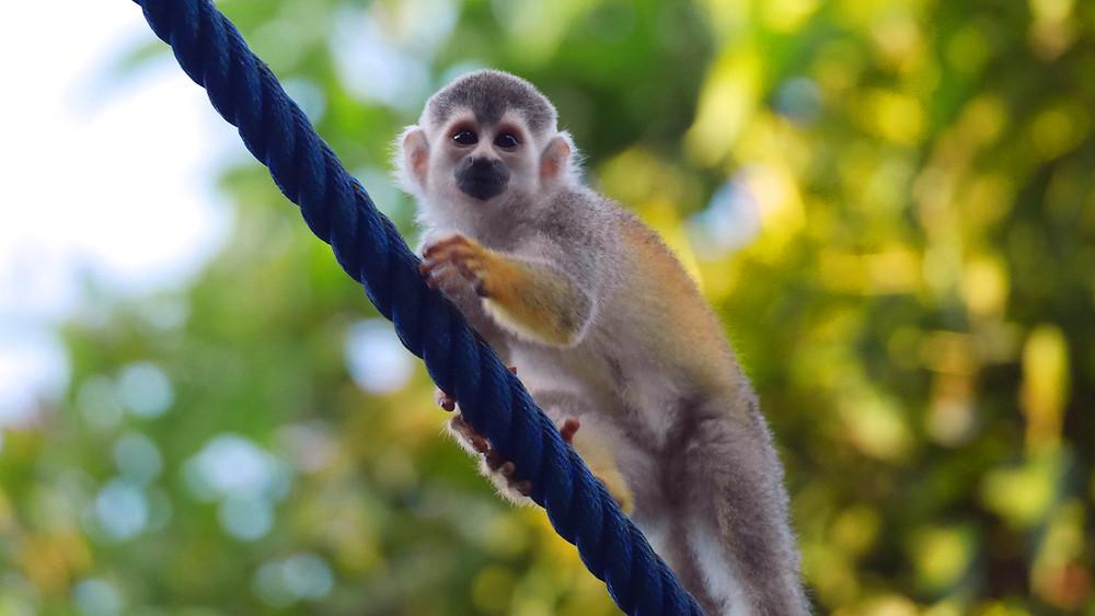 mala siva opica sajmiri na vrvi
