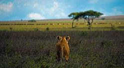 lev v savani Tanzanije