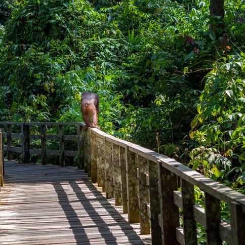 Sepilok-orangutan.jpg