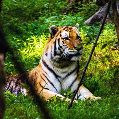 tiger-green-nepal.jpg