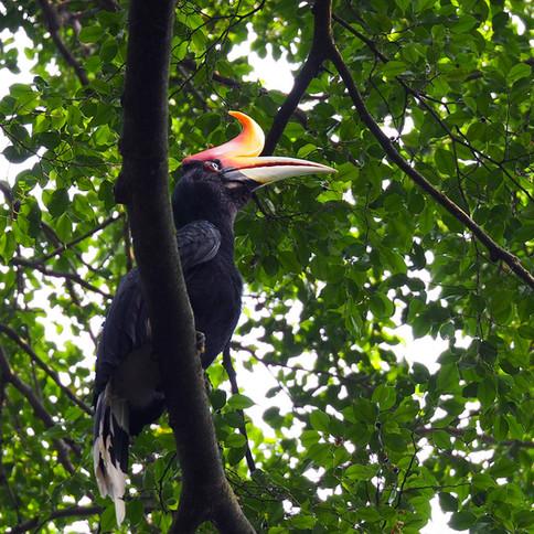 rhiceros-hornbill.jpg