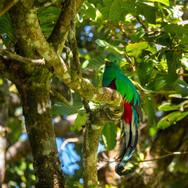 Quetzal Monteverde
