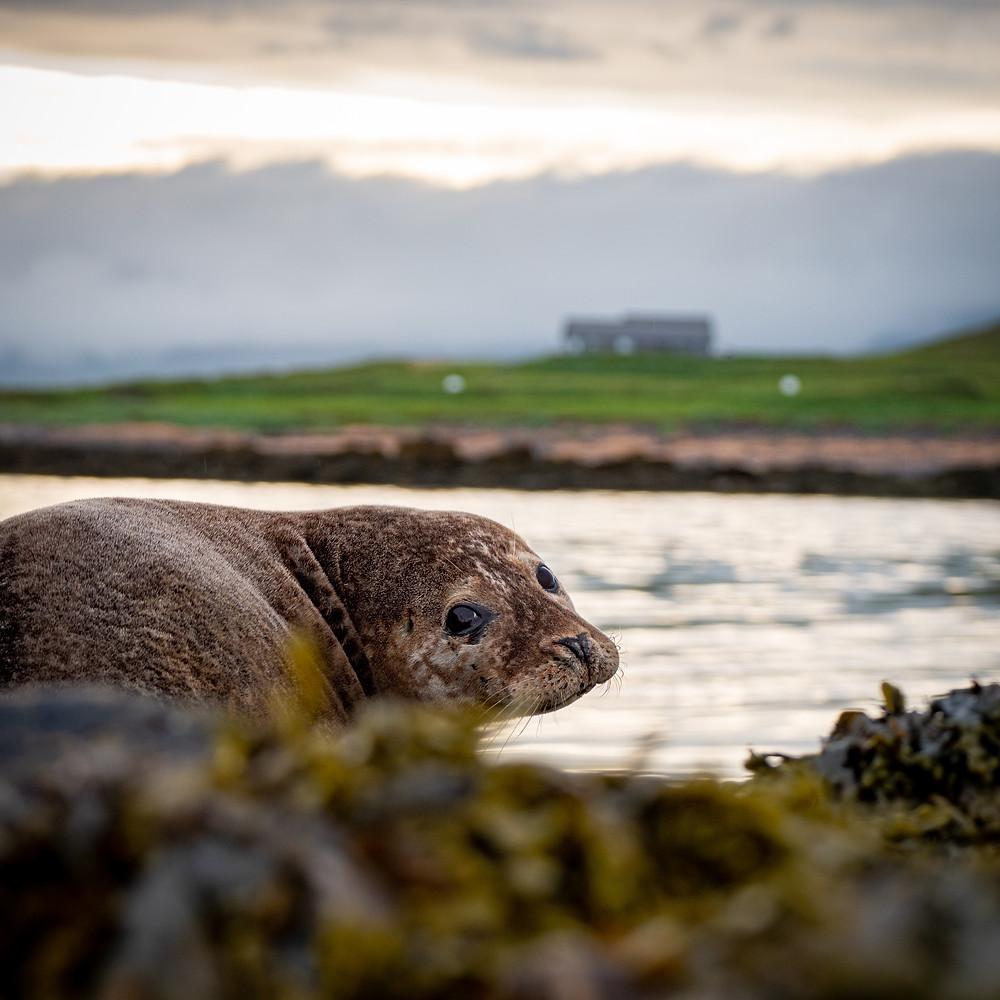 tjulen na plaži z morsko travo v ospredju in goro v ozadju