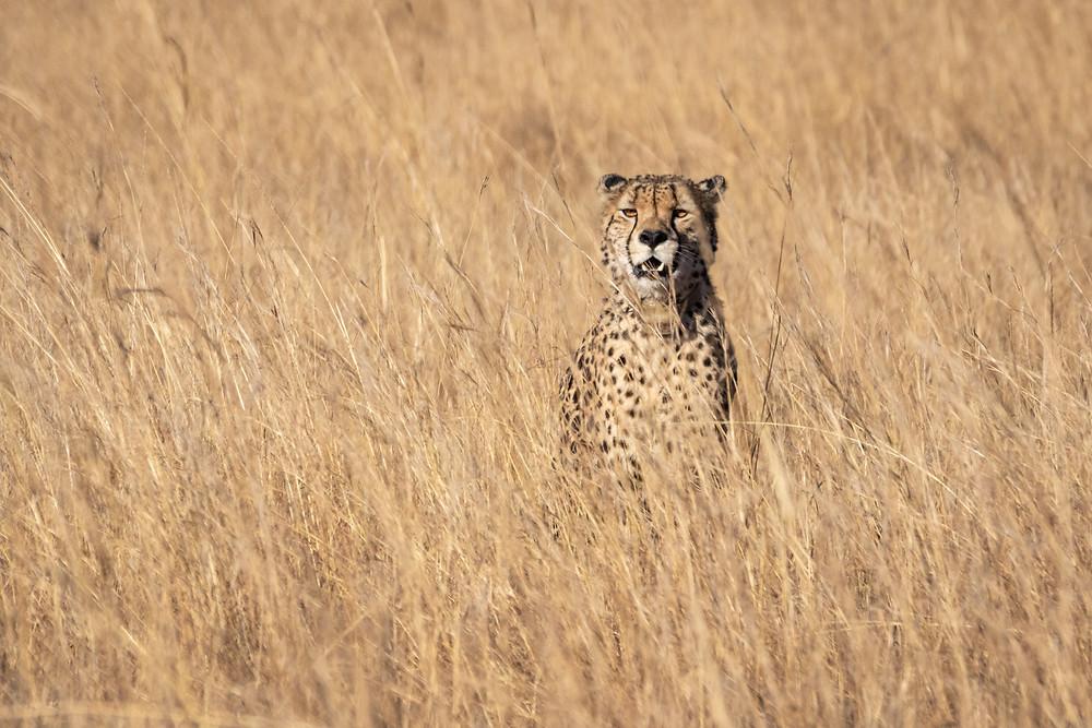 Cheetah in yellow grass