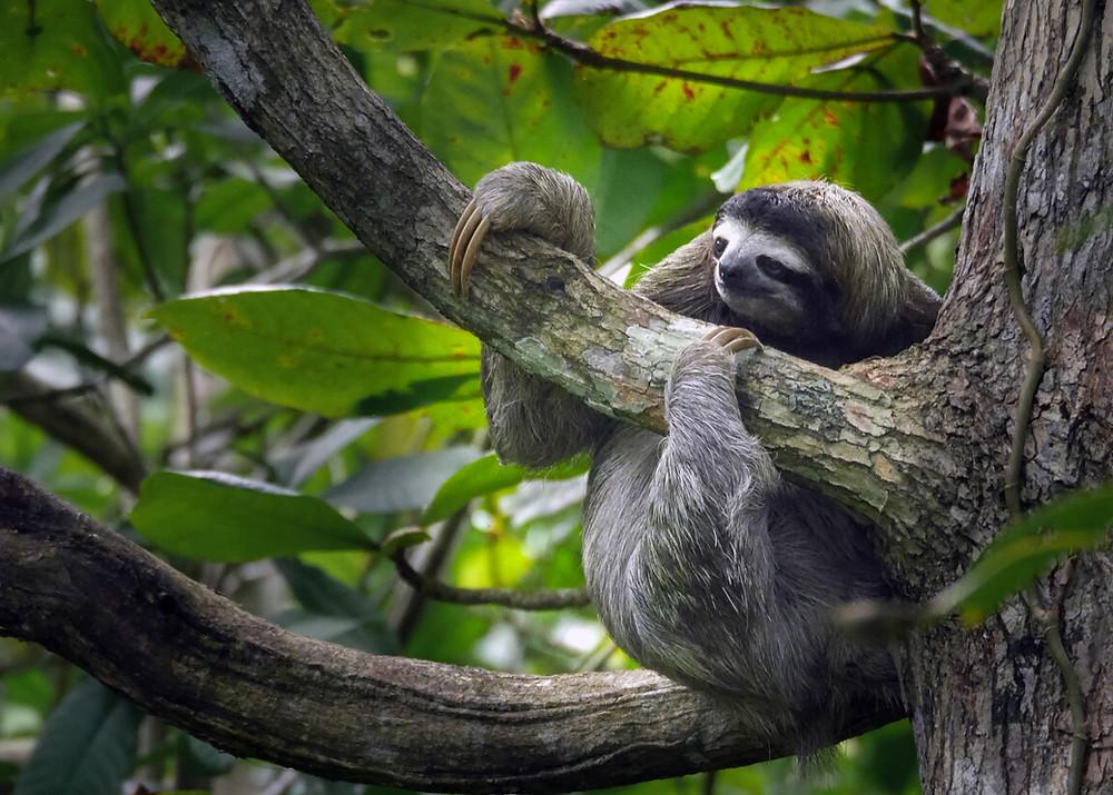 siv lenivec na veji drevesa v Kostariki