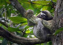lenivec-cahuita-np-kostarika.jpg