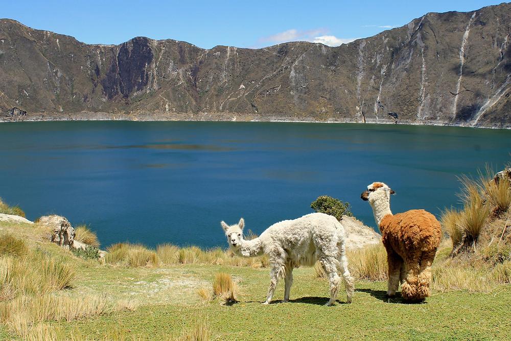 bela in rjava lama pred modrim jezerom