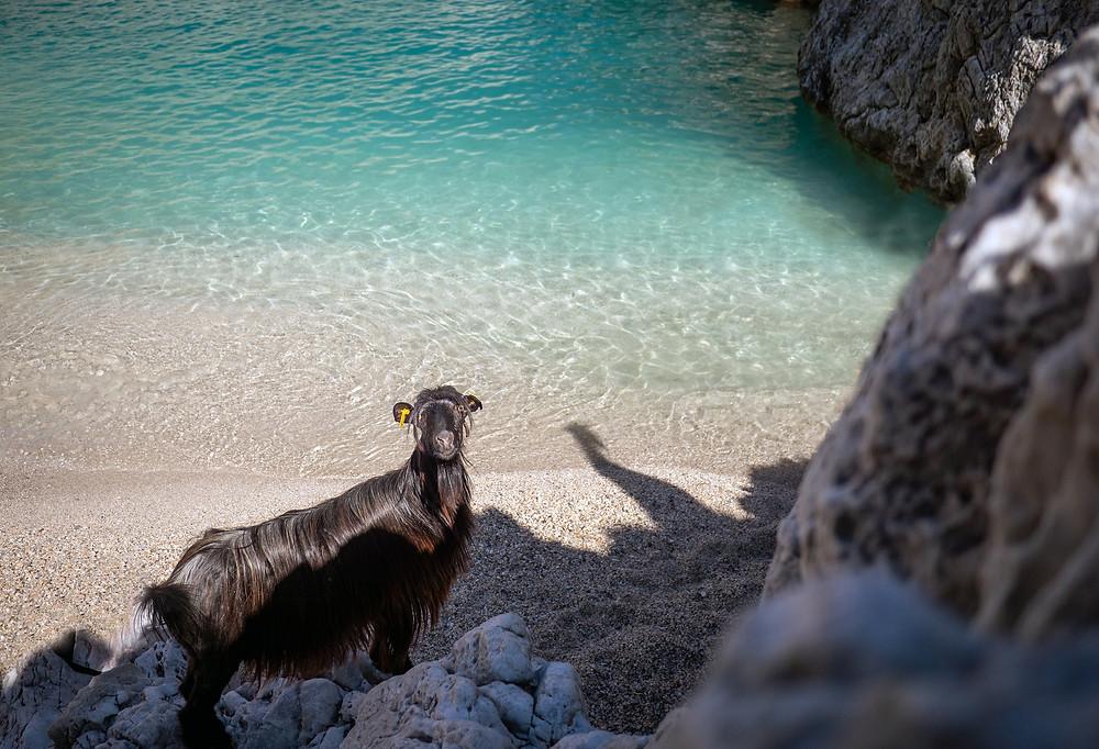koza na peščeni plaži s turkiznim morjem v ozadju