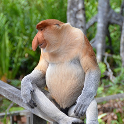 proboscis-monkey-2422094_1920_edited.jpg