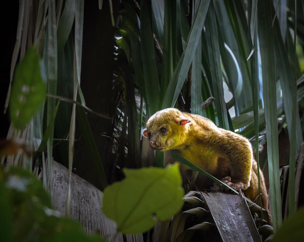 Vitorepi medvedek kinkajou med palmovimi listi v Kostariki