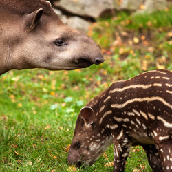 kostarika-tapir.jpg