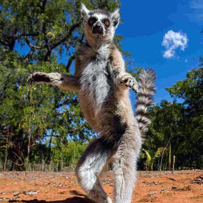 madagaskar_lemur.jpg