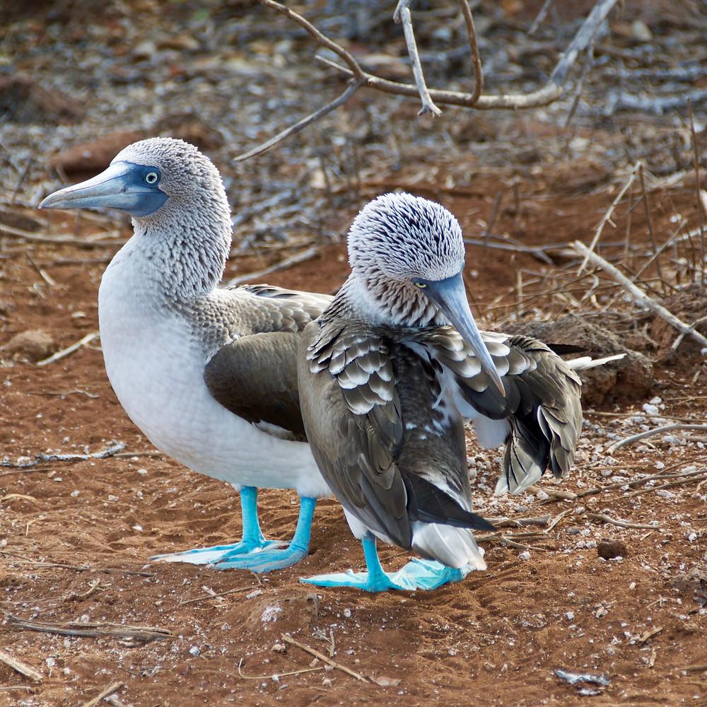 beli ptici z modrimi nogami na rjavi zemlji