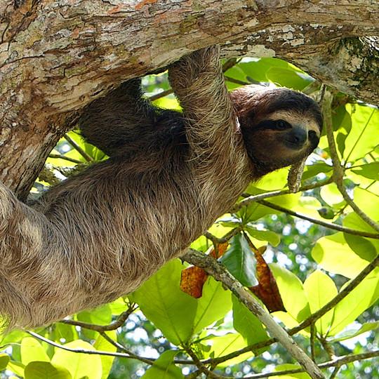 kostarika-lenivec-sloth.jpg