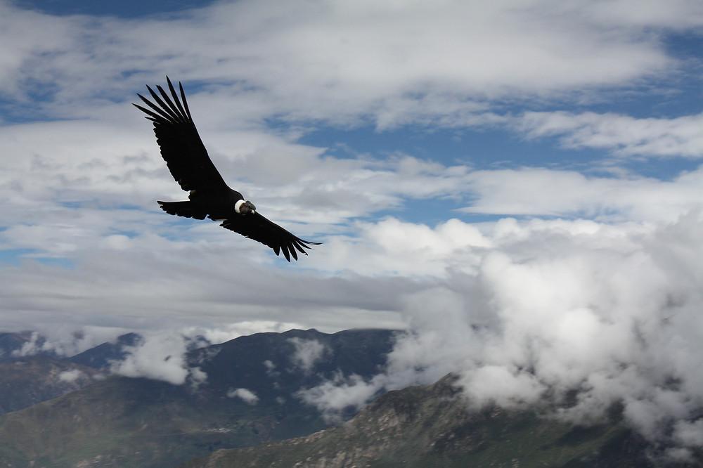 kondor v letu z oblaki in gorami v ozadju