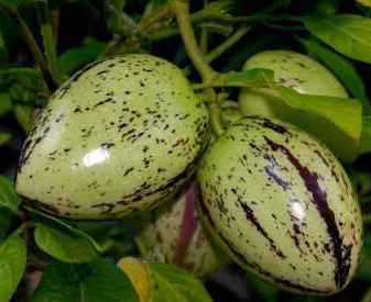 March Crop Swap- Pepino Melon Starts