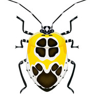 Yellowand Black and White Beetle.jpg