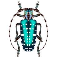 Turquoise Dot Beetle.