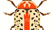 White and Orange Beetle