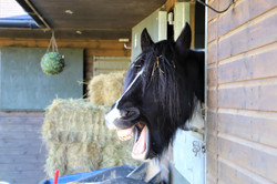 A horse relaxing in the stable