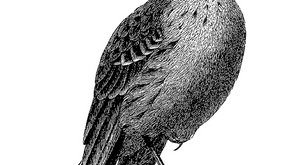 The Birdwatcher's Guide To Spotting the Aymeekooper
