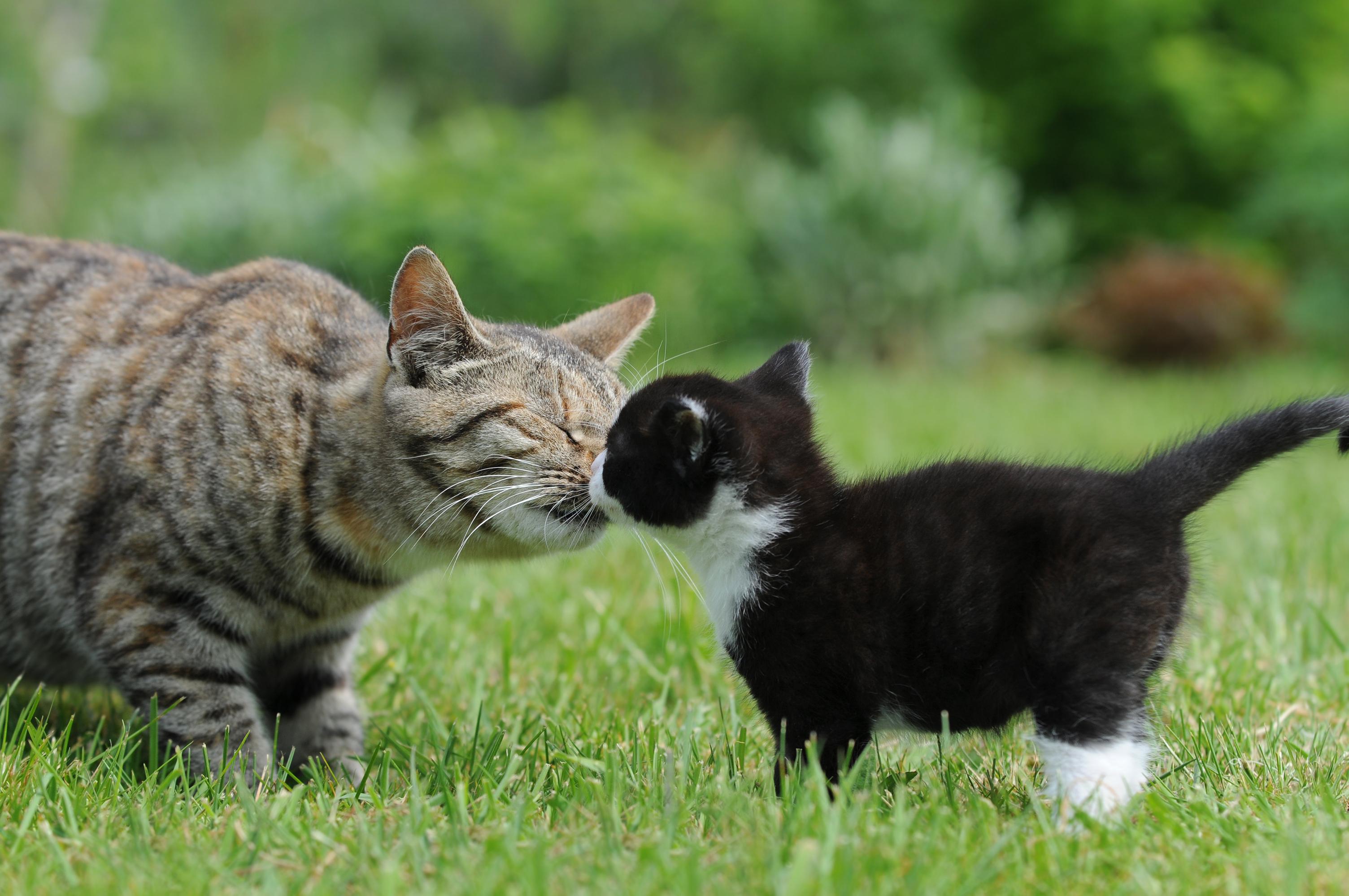 tamara - kitten kissing mother