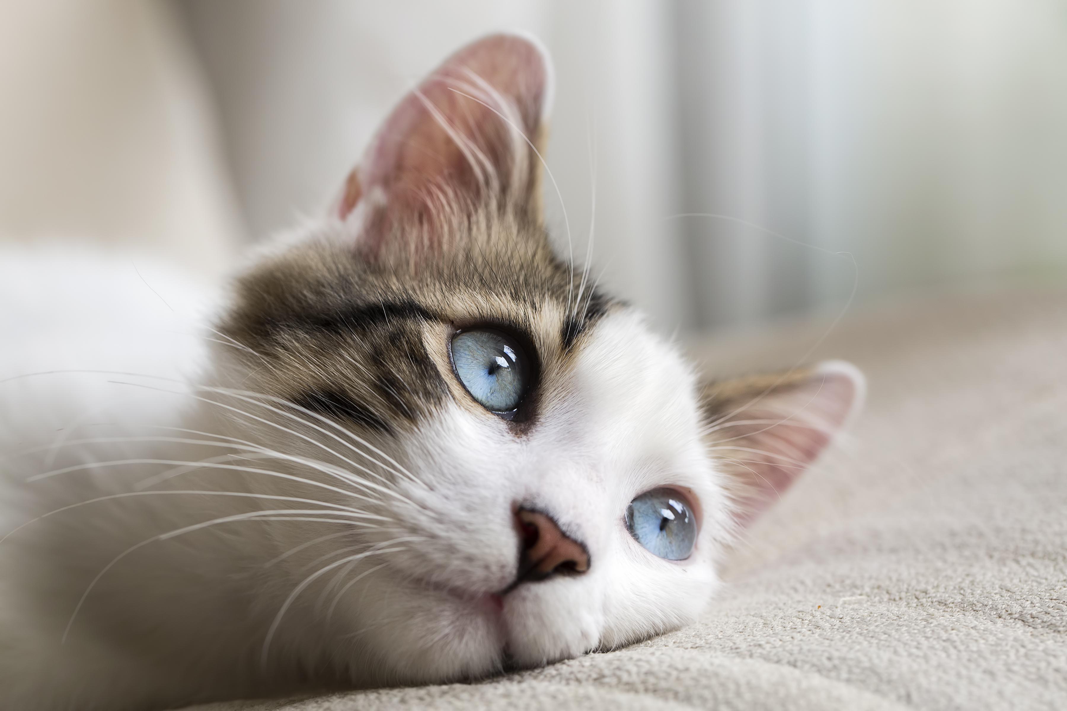 Tamara Grey Cat