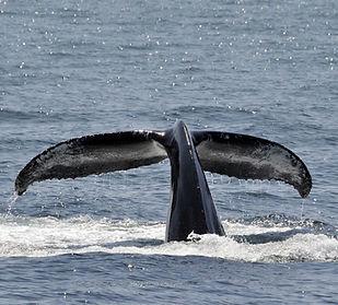Pesquisa baleia