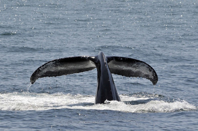 Whale Watching - Mirissa