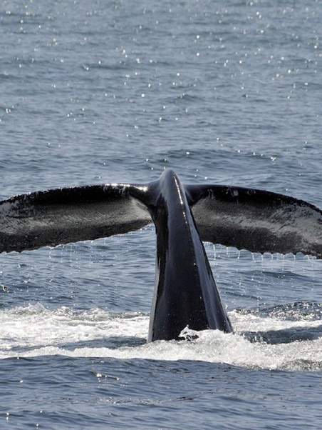 Whale Fluking