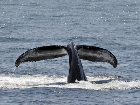 Exciting Whale Watching in Costa Rica's Ballena Bay (aka: Whale Bay.)