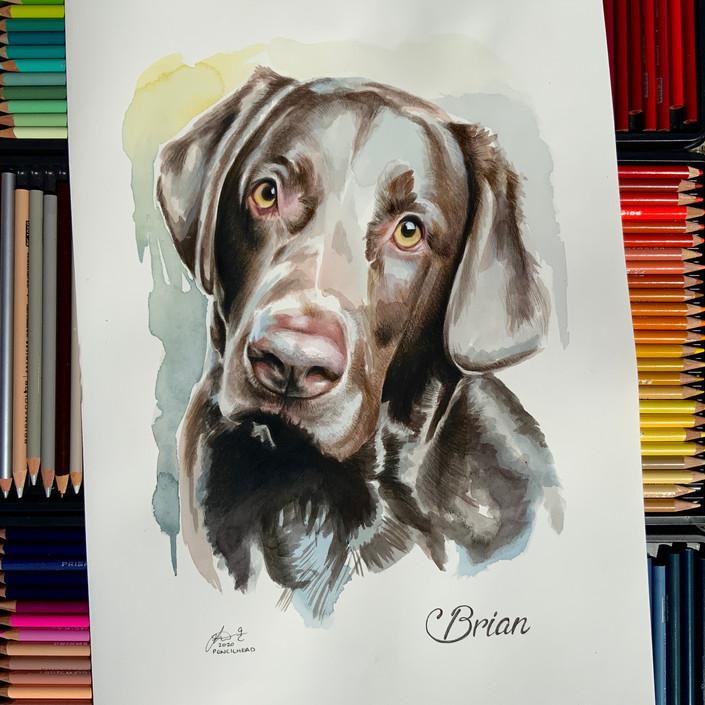 Labrador Brian.jpg